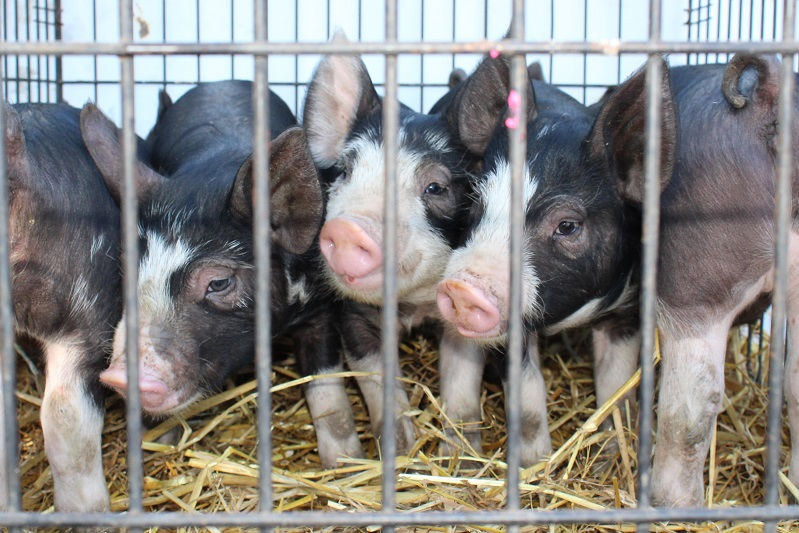 Some good looking gilts ready to head home!!
