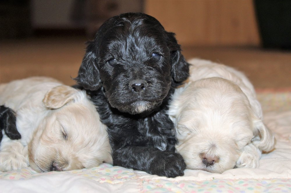 Cockapoo: Current & Planned Litters — Mill Creek Family Farms