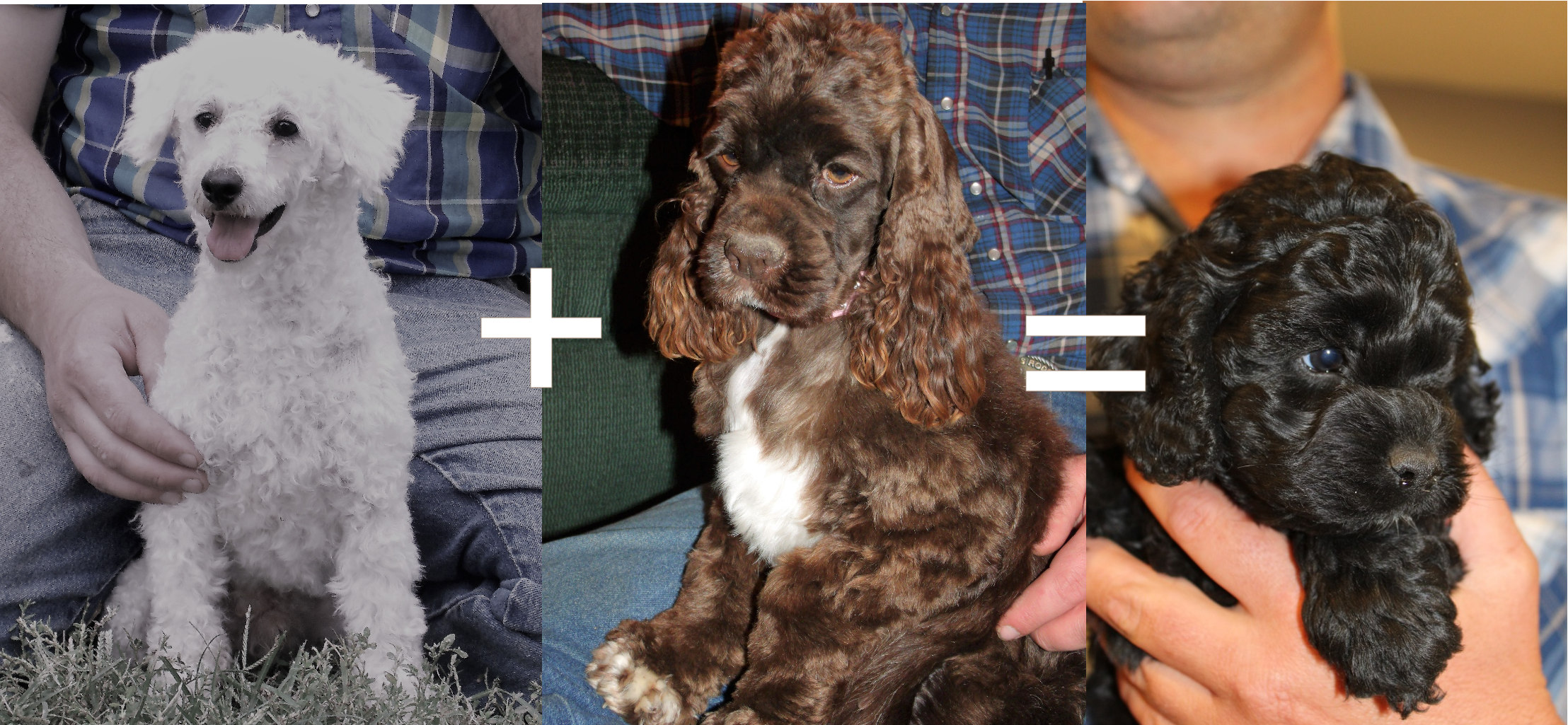 Here is another example of how breeding by phenotype can have unexpected results. We know, because of their GENOTYPES what John and Annie can produce, but if you were looking to make a solid black puppy, they wouldn't be the cross you would pick based on their PHENOTYPES!