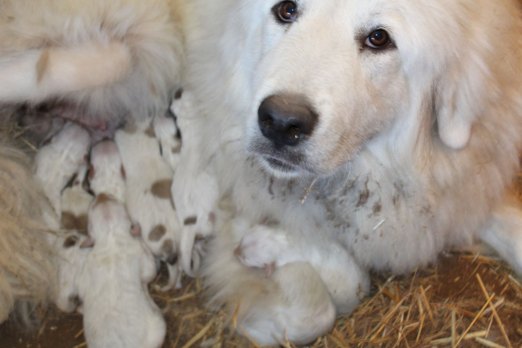Our girl Betty with her first litter —— 10 puppies!!