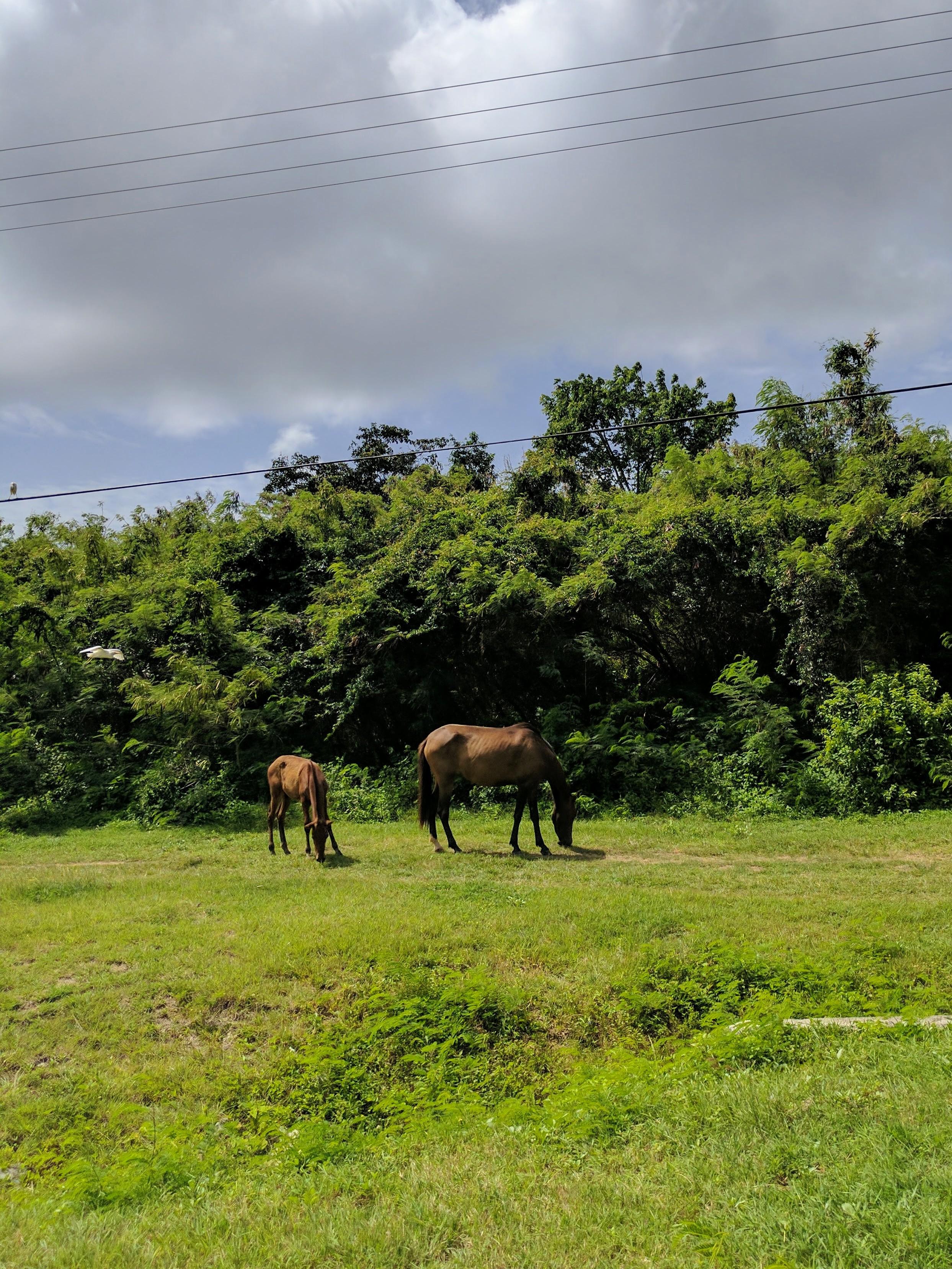 Wild horses roam the entire island of Vieques