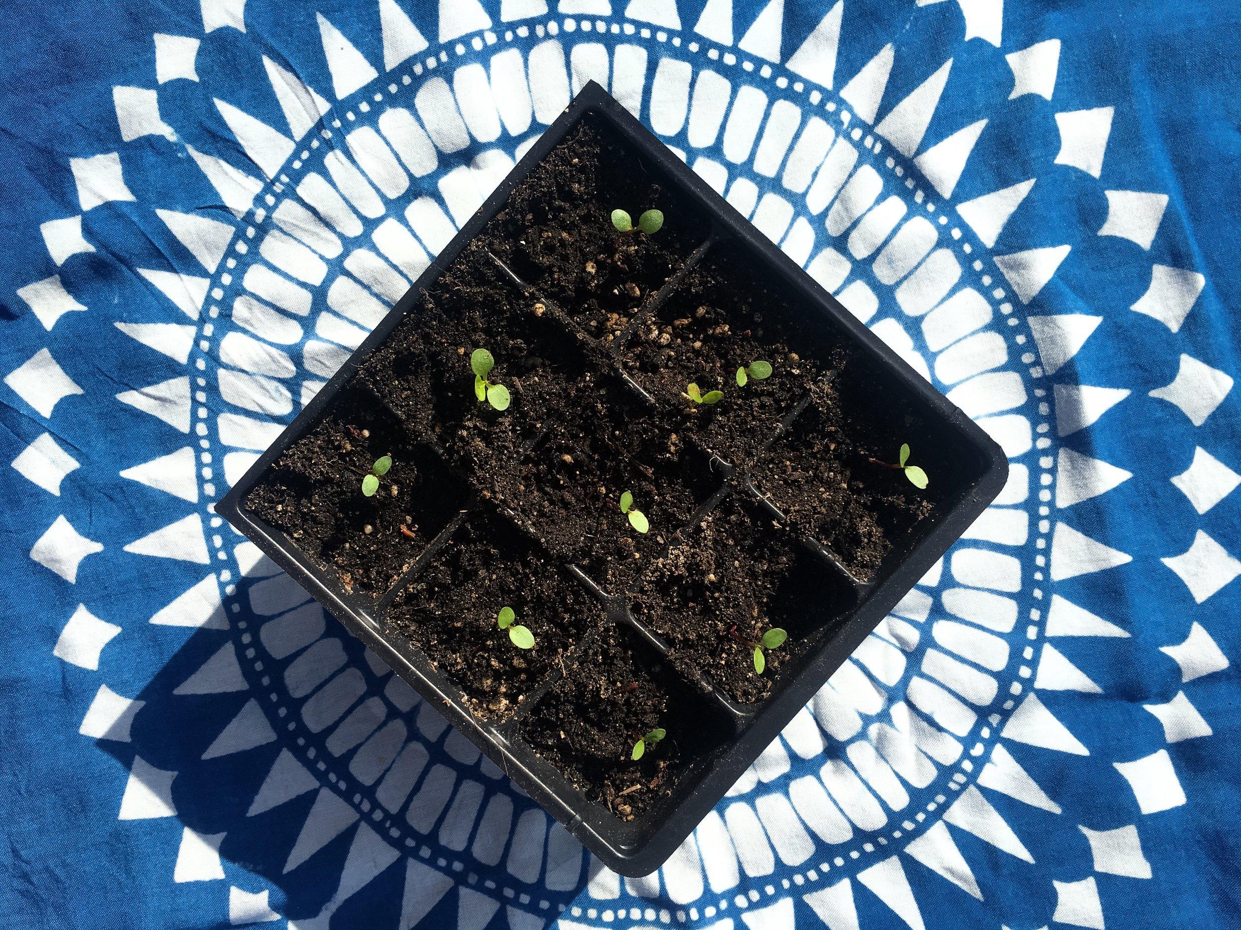Graham Keegan Persicaria Tinctoria Indigo Plant Growing Indigrowing.jpg