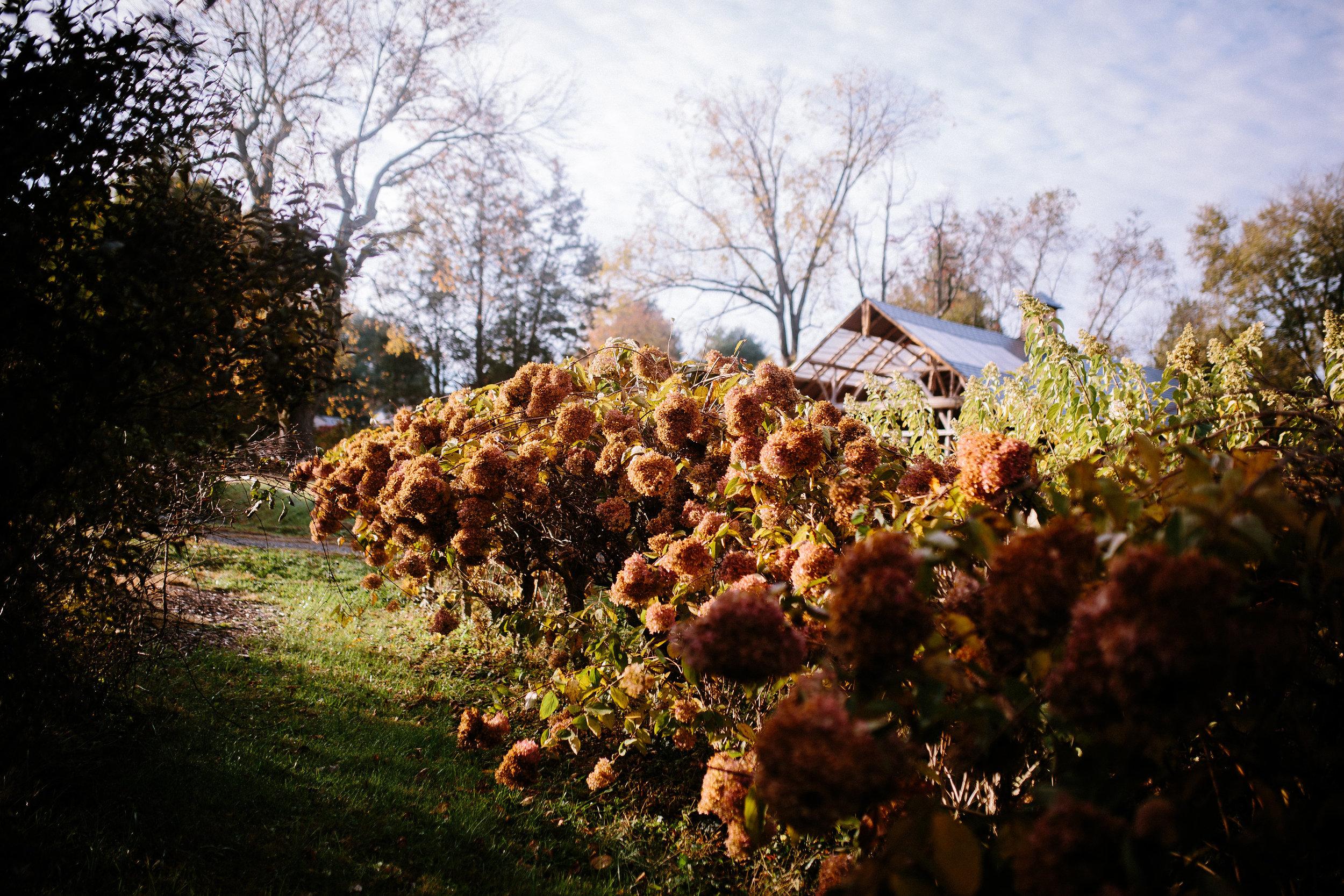 Fall Hydrangea.jpg