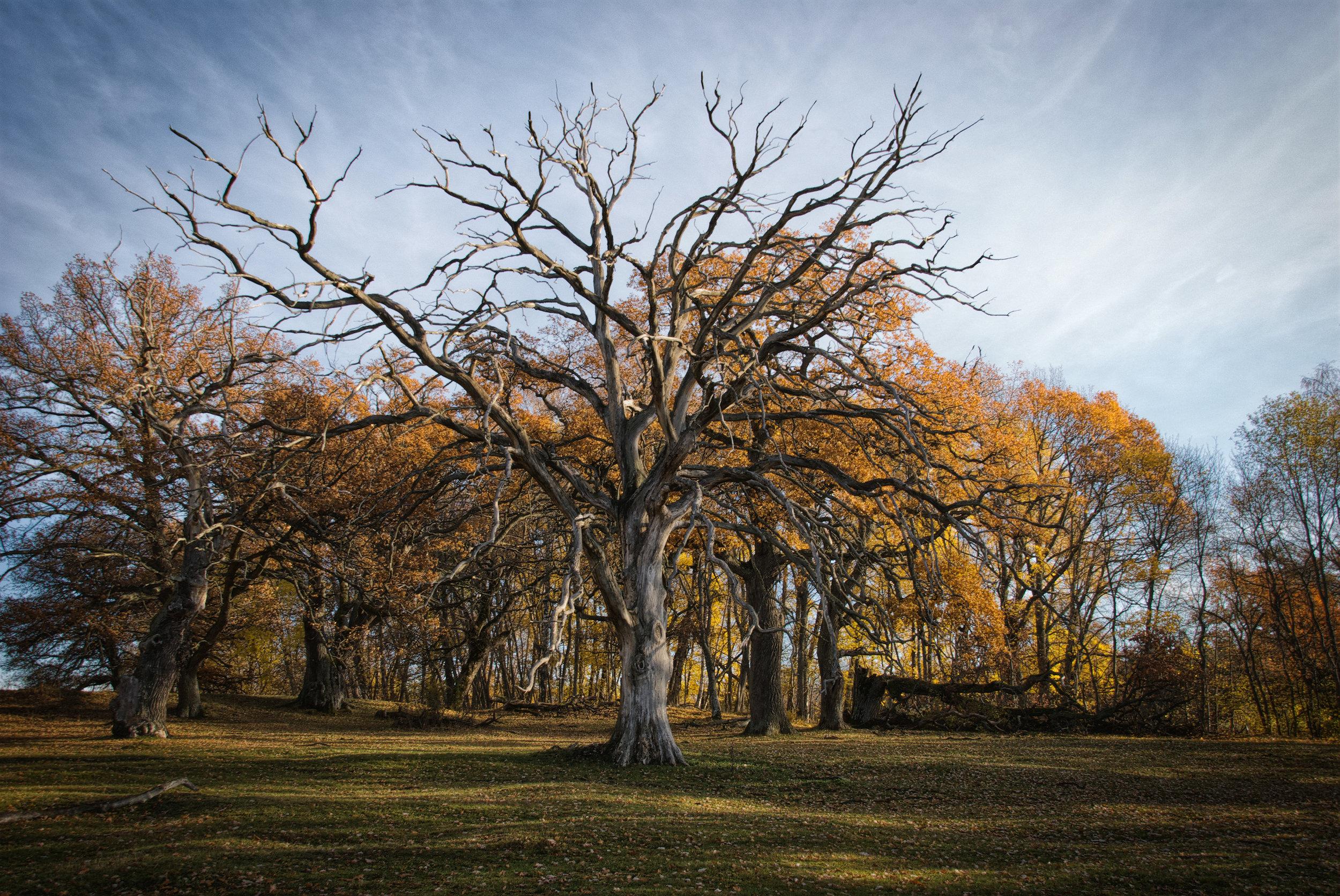 Sidobelyst träd