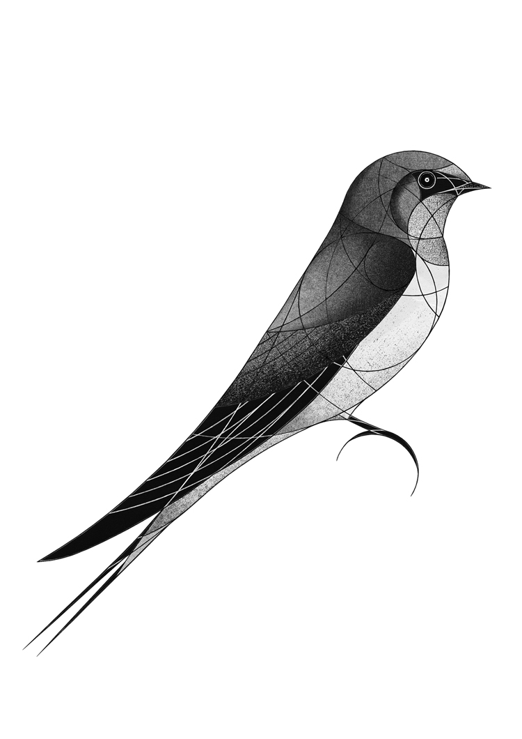 barn swallow (2018)