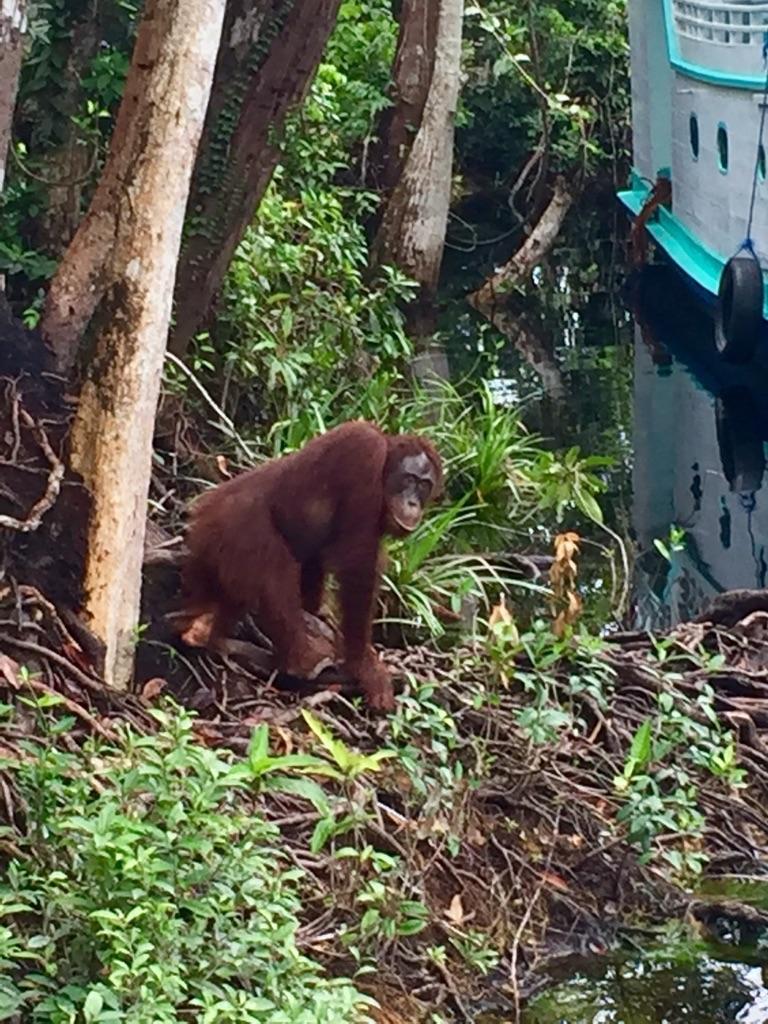 Percy, Camp Leakey, Central Borneo
