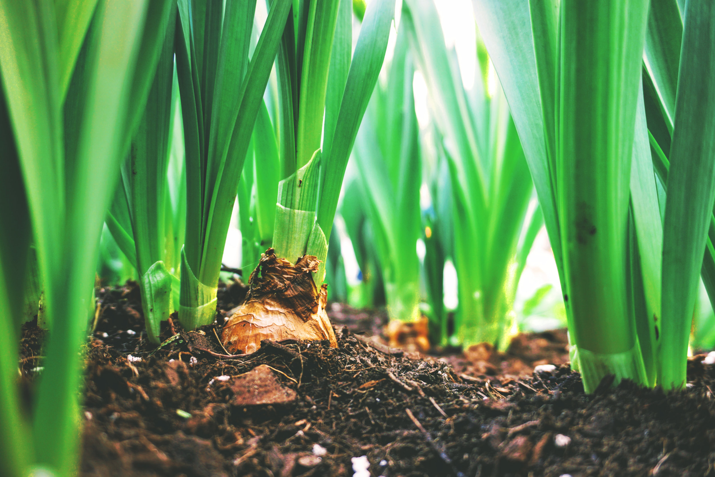 Planting Bulbs - What to plant for Summer Blooms
