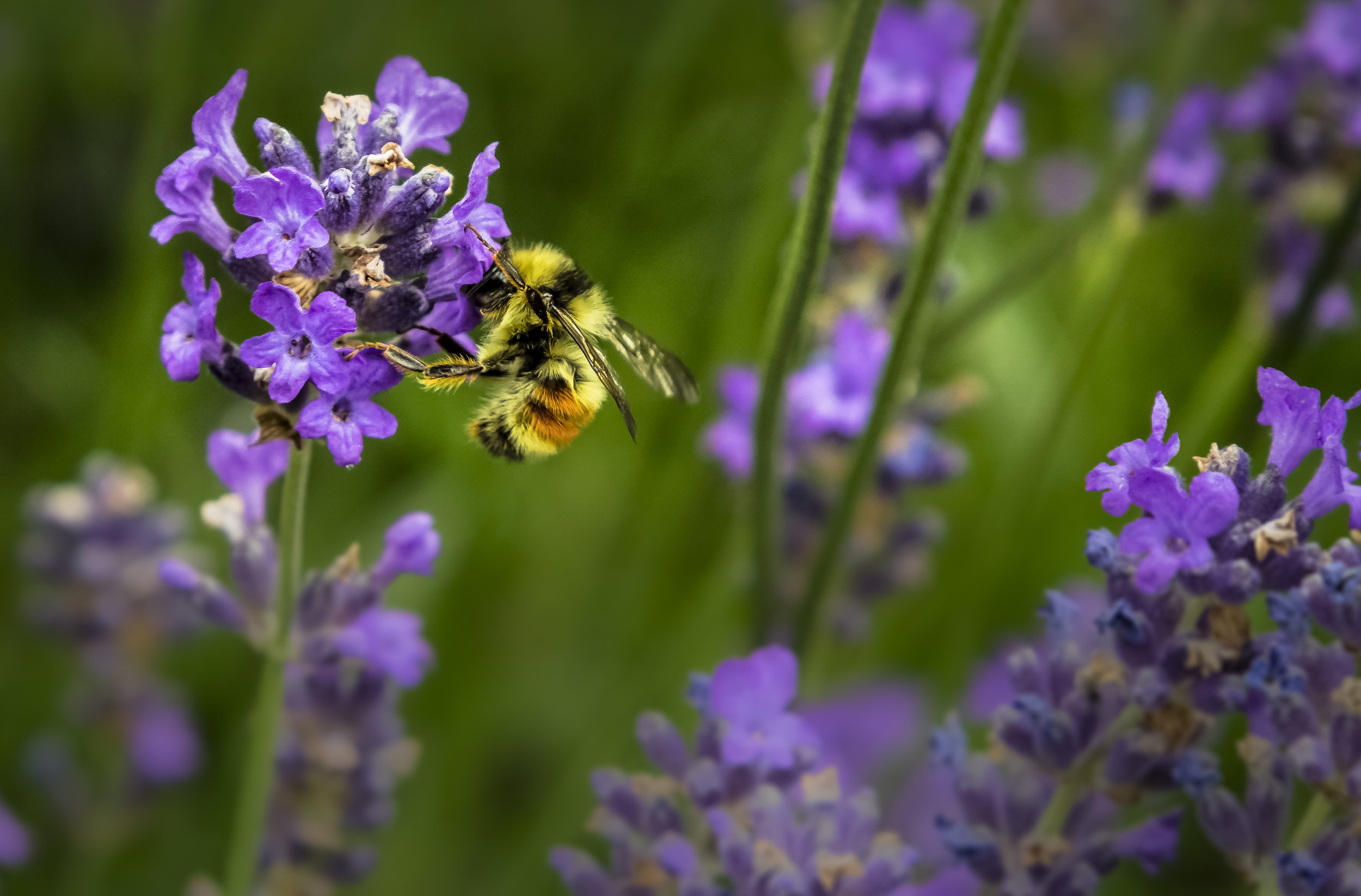 7 Things You Can Do for Pollinators - Help keep Indiana blooming!