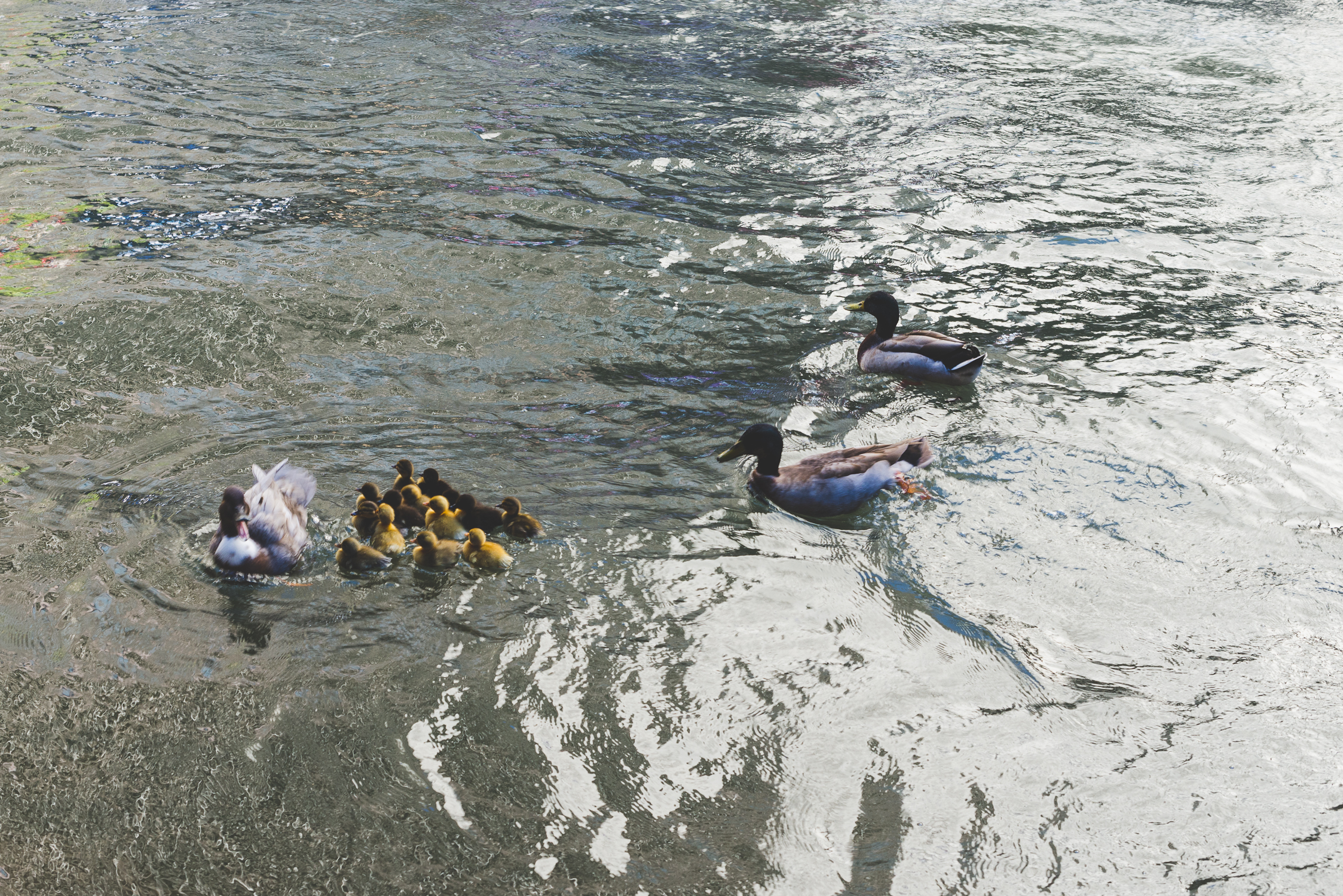 Mama duck and her baby ducklings! / 2/13/16 / San Antonio, TX