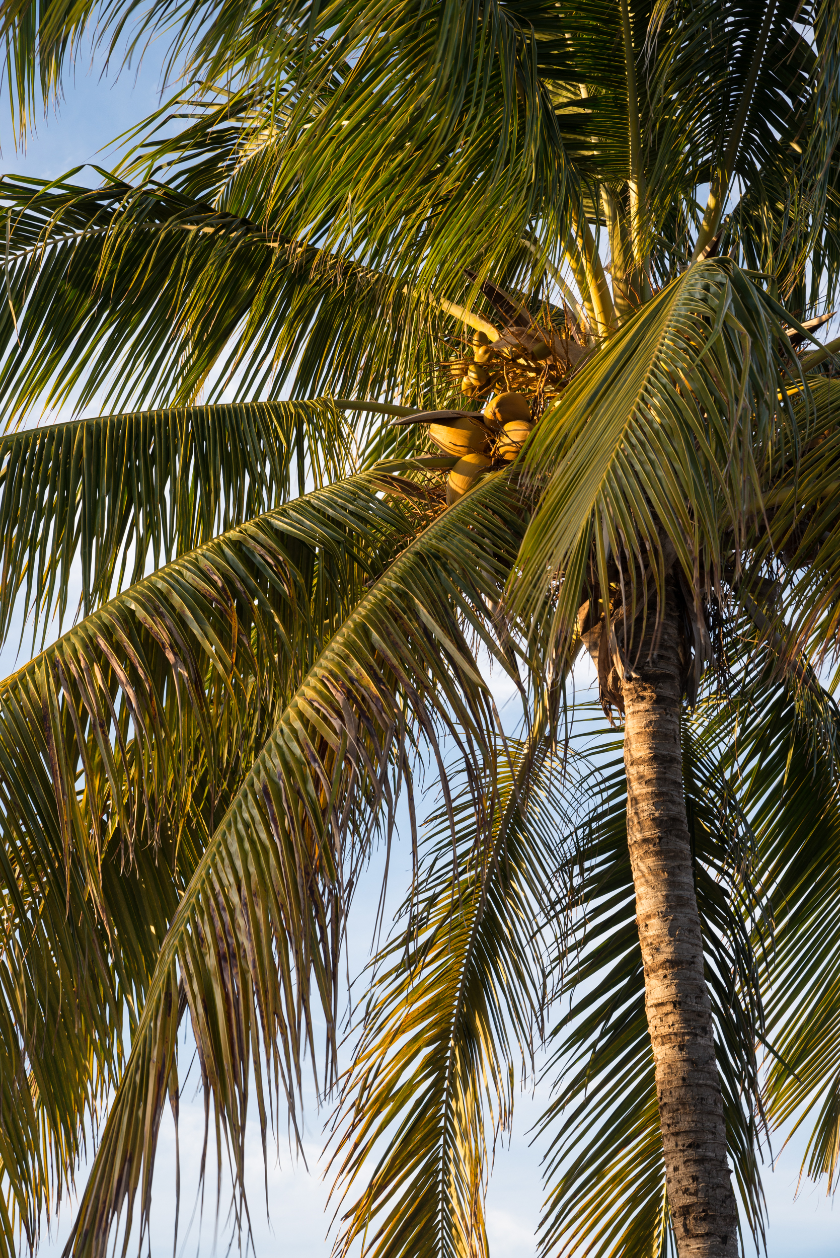 Cocos nucifera - Coconut Tree