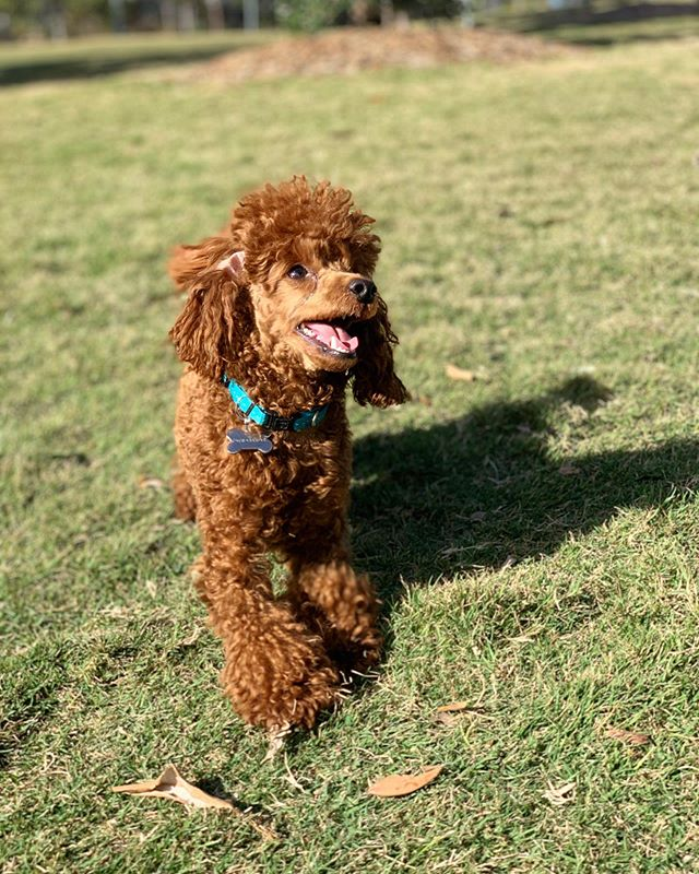 How adorable is #toypoodle Maximus?