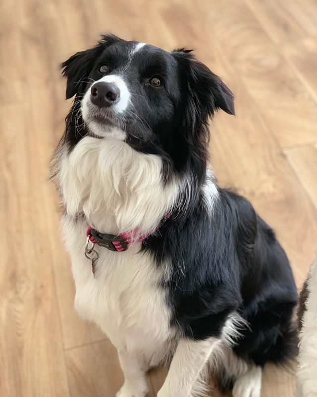 "Gorgeous Bronte has arrived @barcforpets where she will be commencing a ""board and train"" stay with Barc + Jac from the @the.dog.nose ✔️ This will be the first of many collaborations with @the.dog.nose and @barcforpets introducing our new tailored and exclusive boarding experience that includes a structured training regime for you to take home and implement with your pooch ✔️🐶 Bronte is here to work on her reactive barking and develop some positive training techniques to make life at home a little easier- 📔 check through the week to see videos of Brontes training and boarding experience 🎥 🐶  #dogtrainer #dogboarding #boardandtrain #dogobedience #doghotel #doggiedaycare #thedognose"