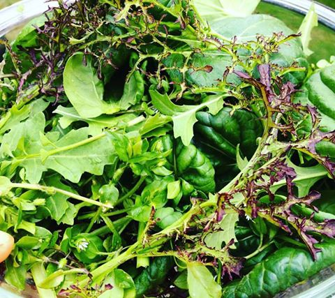 Early spring mustards, chickweed, arugula and tatsoi from our hoophouse