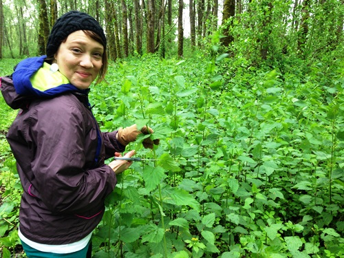 Stinging Nettles growing in profusion! This is not me but an image from another herbalist