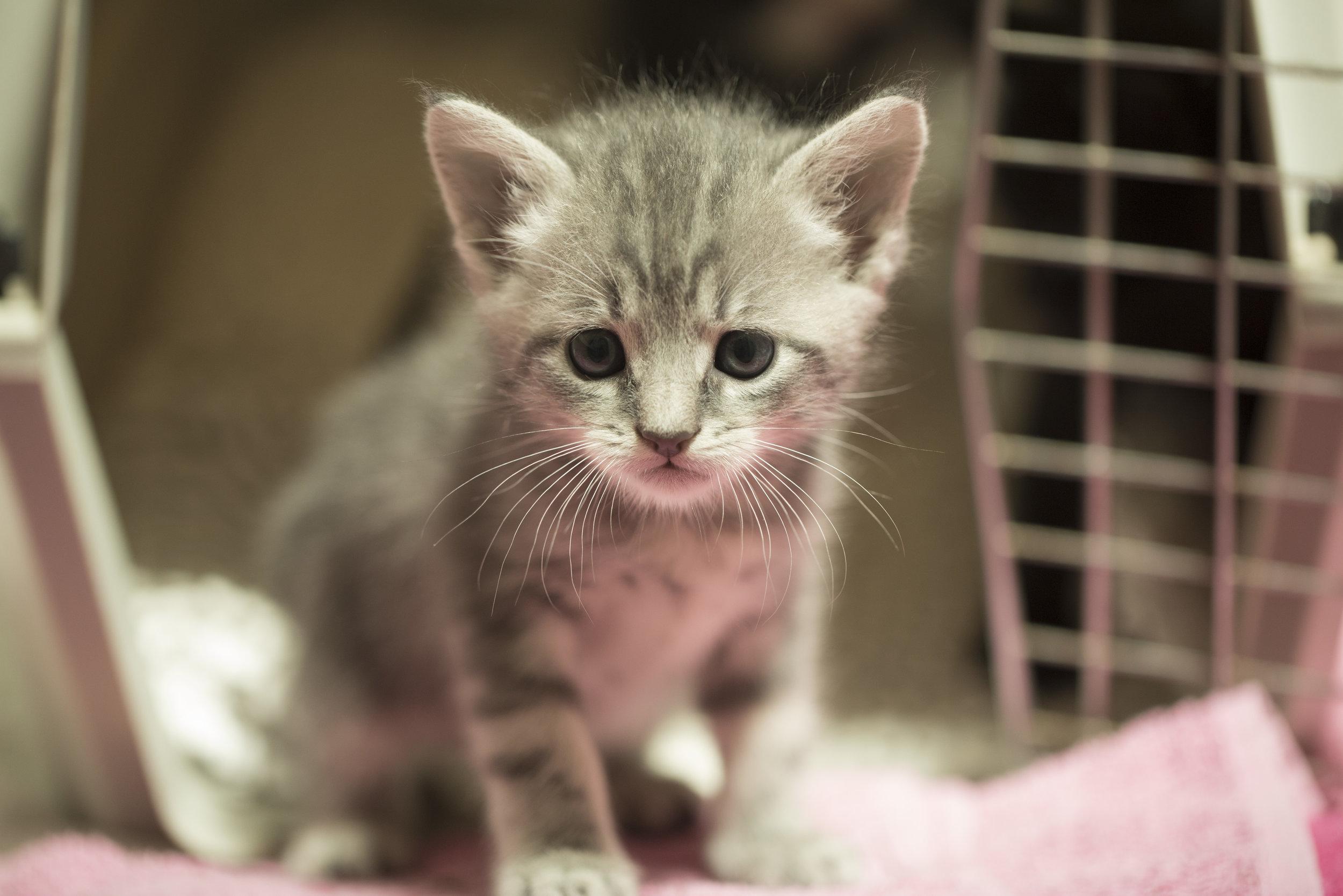 Grey kitty.jpg