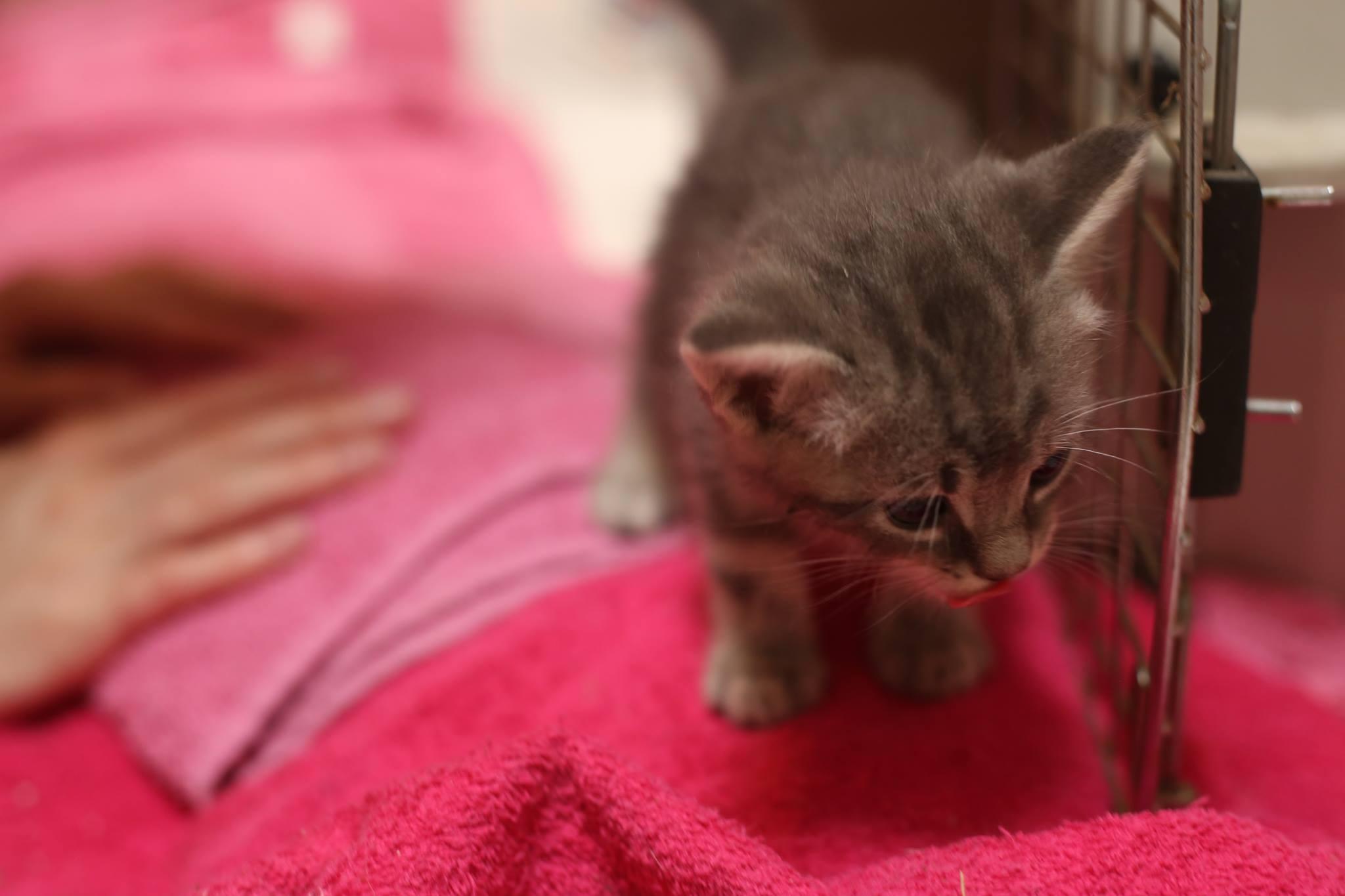 Gray-Kitten-2.jpg