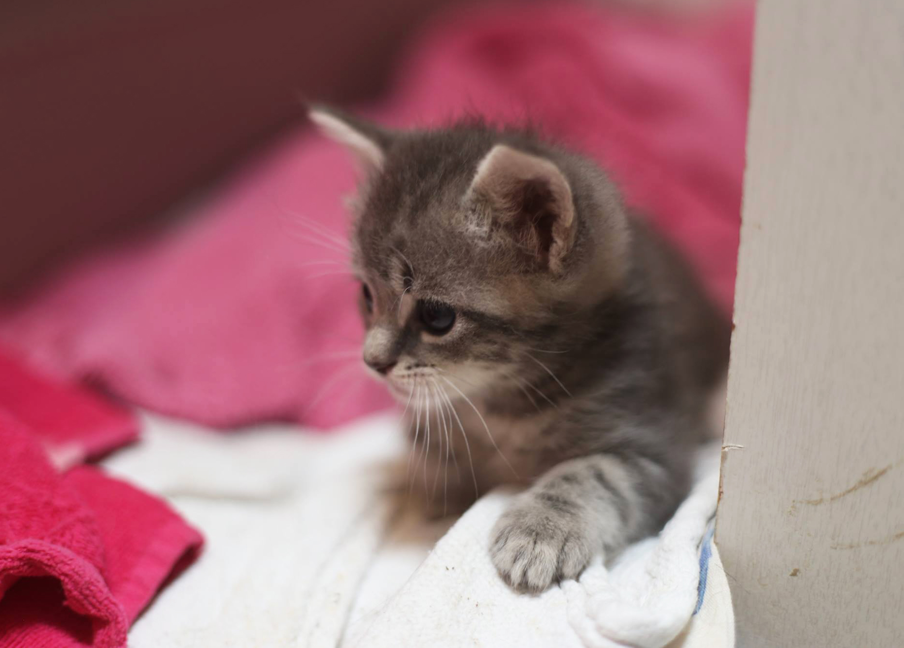 Gray-Kitten.jpg