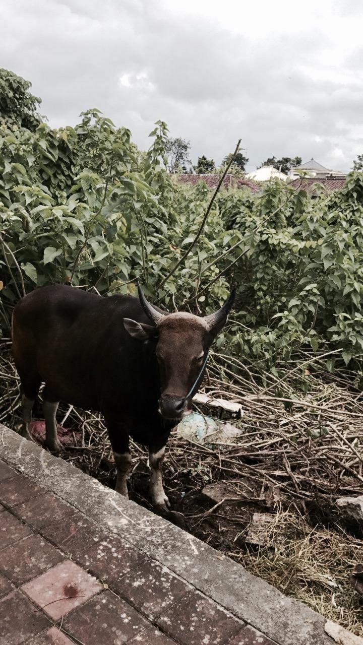 Random cow on Jl. Sunset Road