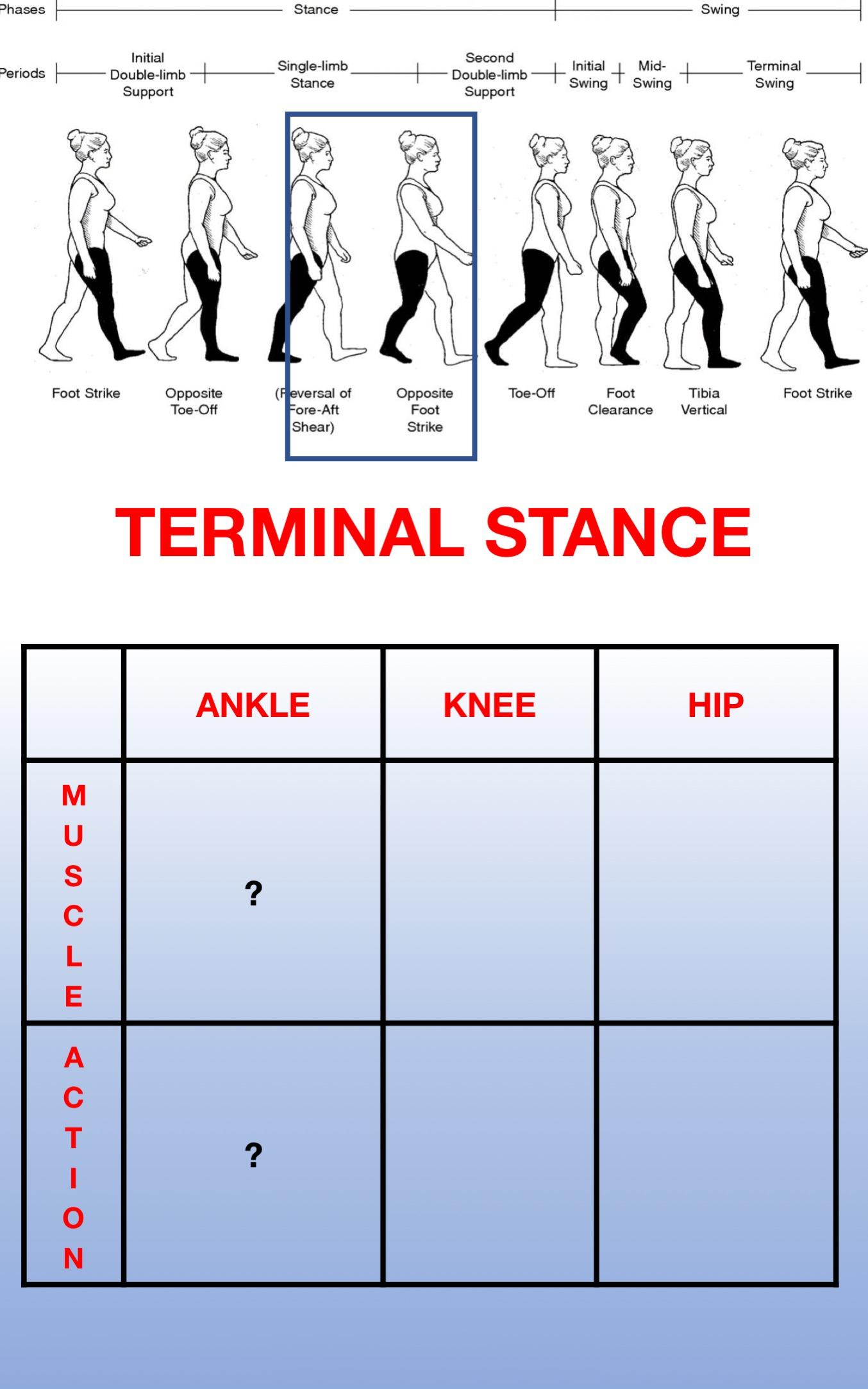 Gait Muscles14.jpg