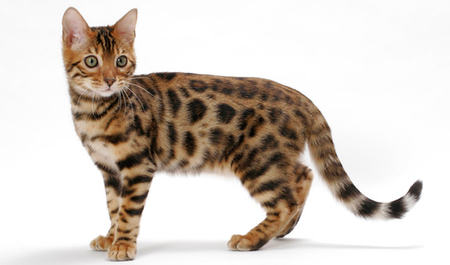 Spotted Bengal.jpg
