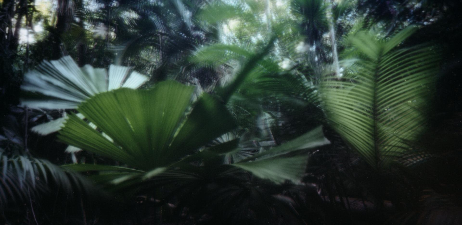 Palm forest. Cape Tribulation, Australia, 2013