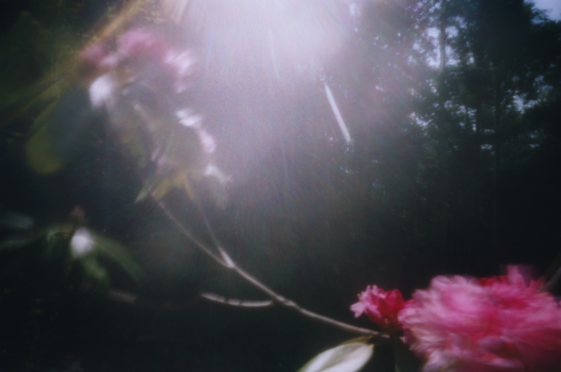Rhododendron. Shikoku, Japan, 2013
