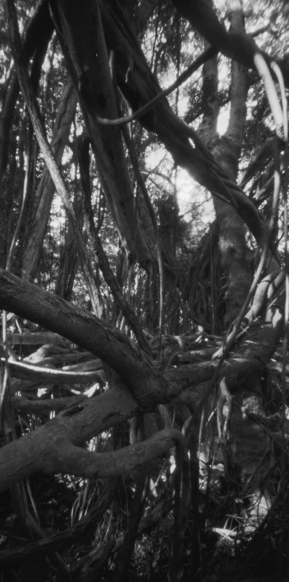 Banyan tree. Japan, Iriomoto, 2015
