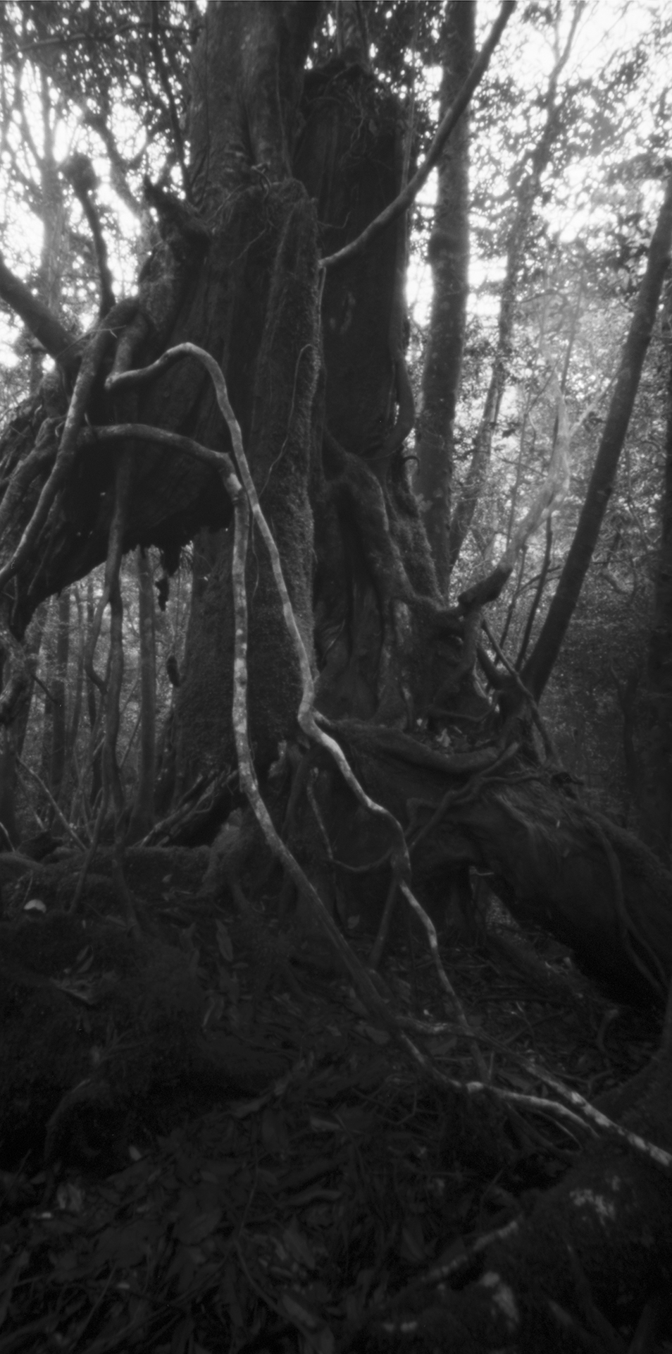 Hollow tree, Kasugawa Trail. Japan, Yakushima,2015