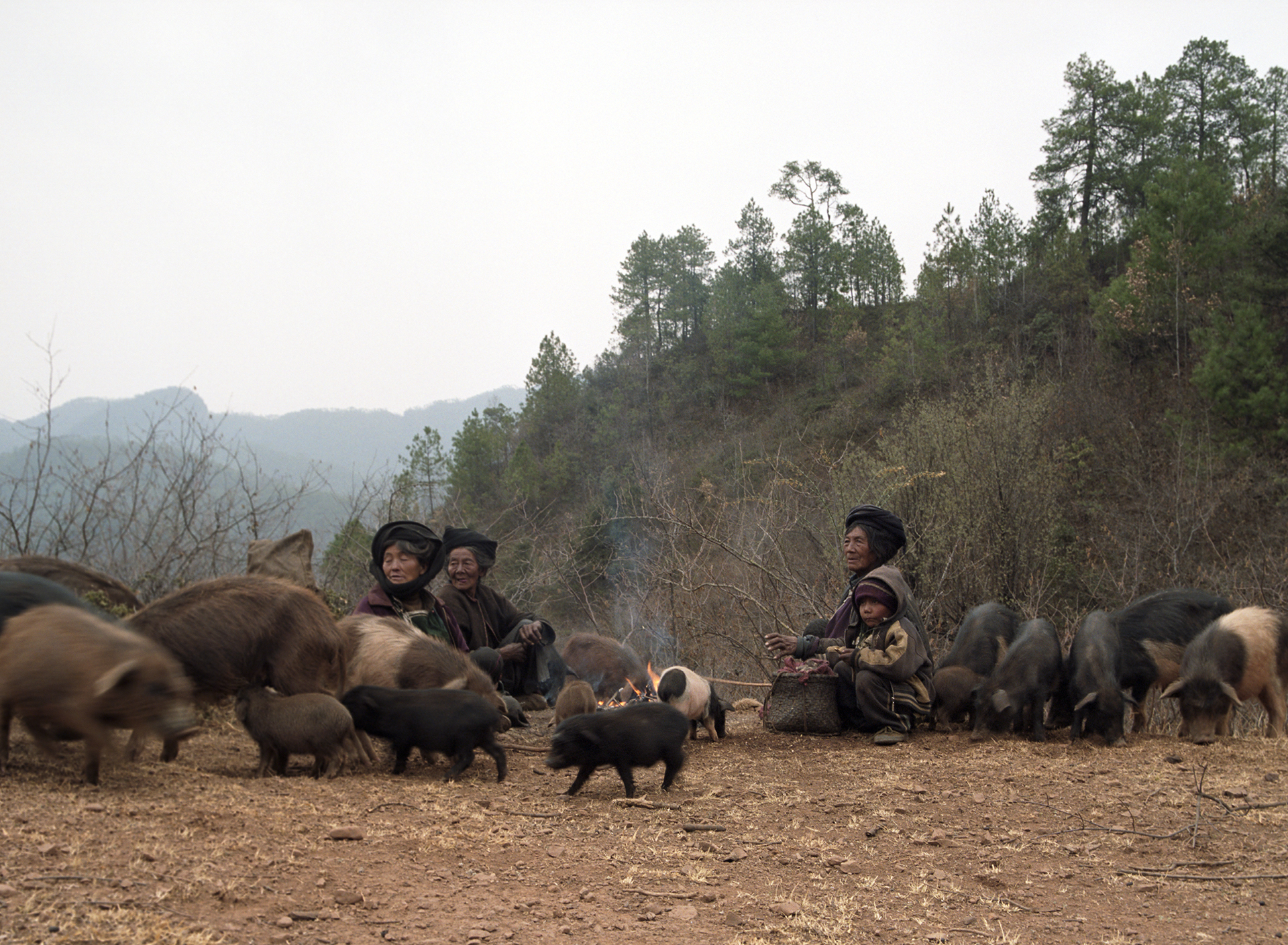 2010, in the vicinity of Lugu Lake - old Moso ladies herding their pigs.