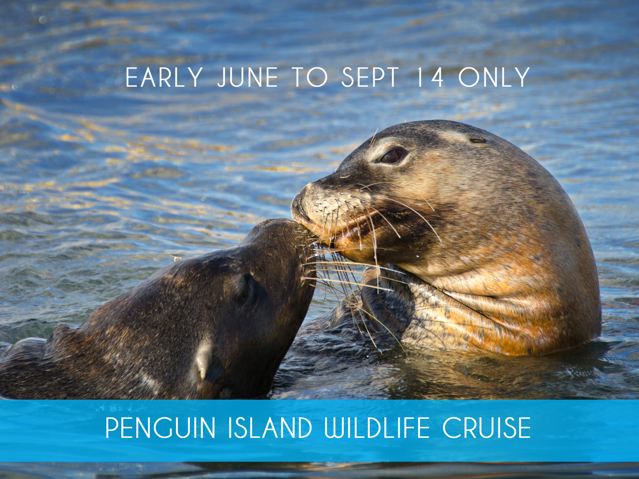 PENGUIN ISLAND WILDLIFE CRUISE  (June 6 to Sept 14 only)Join us on a 60 minute glass bottom boat cruise in search of dolphins, sea lions and nesting sea birds. Includes a 30 minute guided walk on Penguin Island to take in spectacular views of the marine park.  Adults $39   MORE INFO