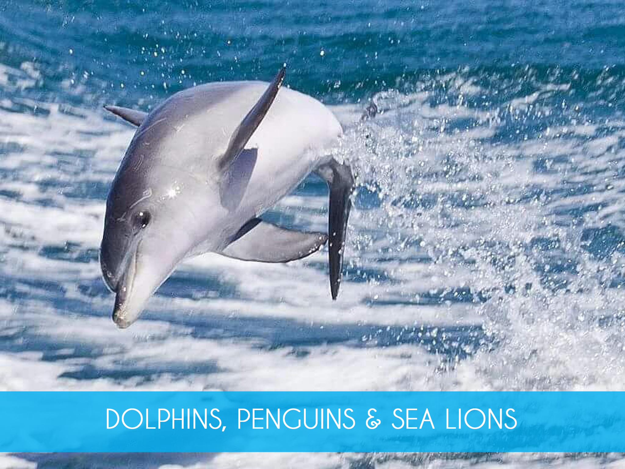Adventure Cruise   Get up close with the dolphins & enjoy the exhilarating ride on our 90 minute Adventure Cruise. We also take in the spectacular islands, nesting sea birds & sea lions. Includes return ferry from Penguin Island.  Adults from $60  MORE INFO