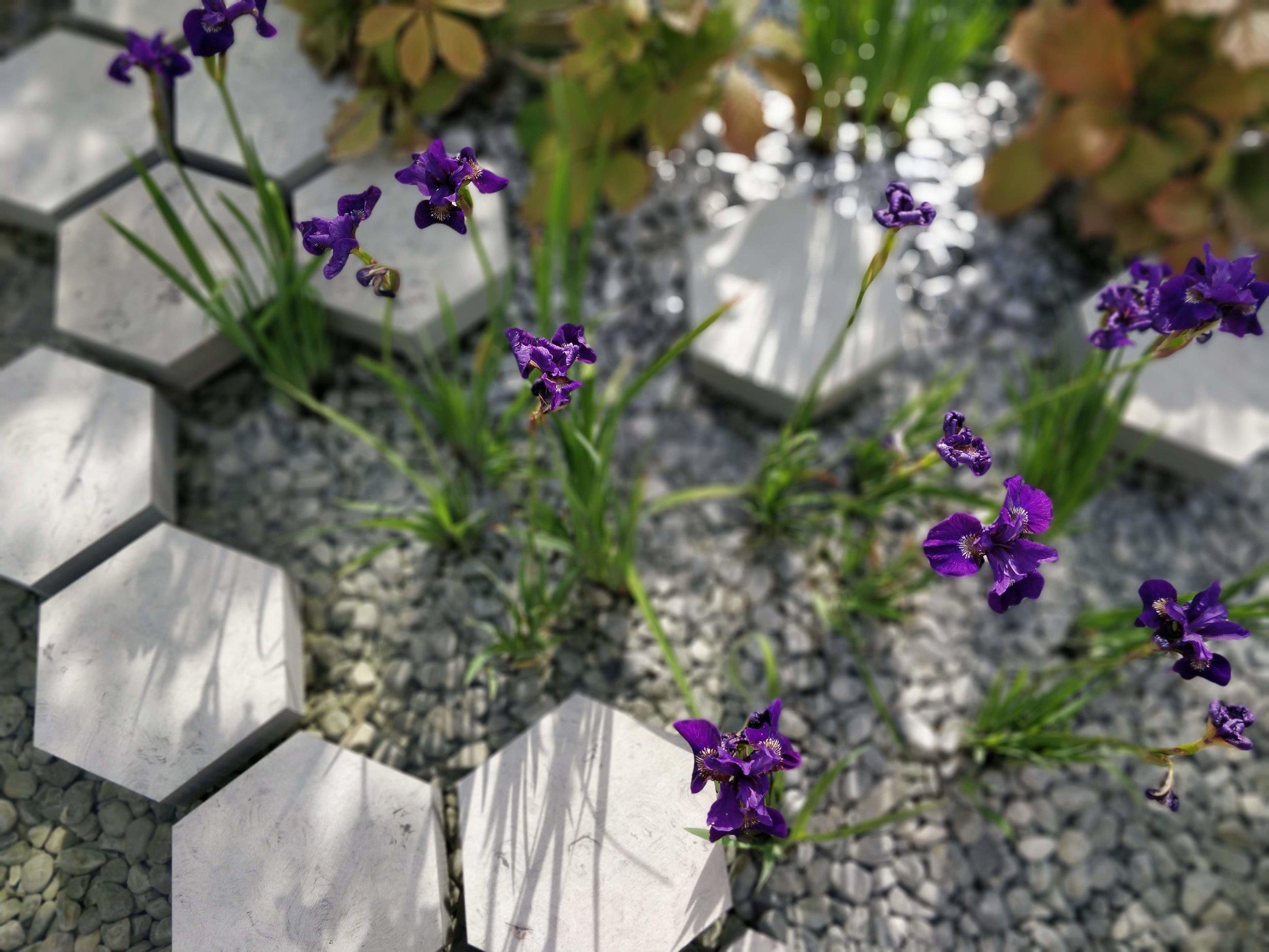 Irisesthemanchestergarden.jpg
