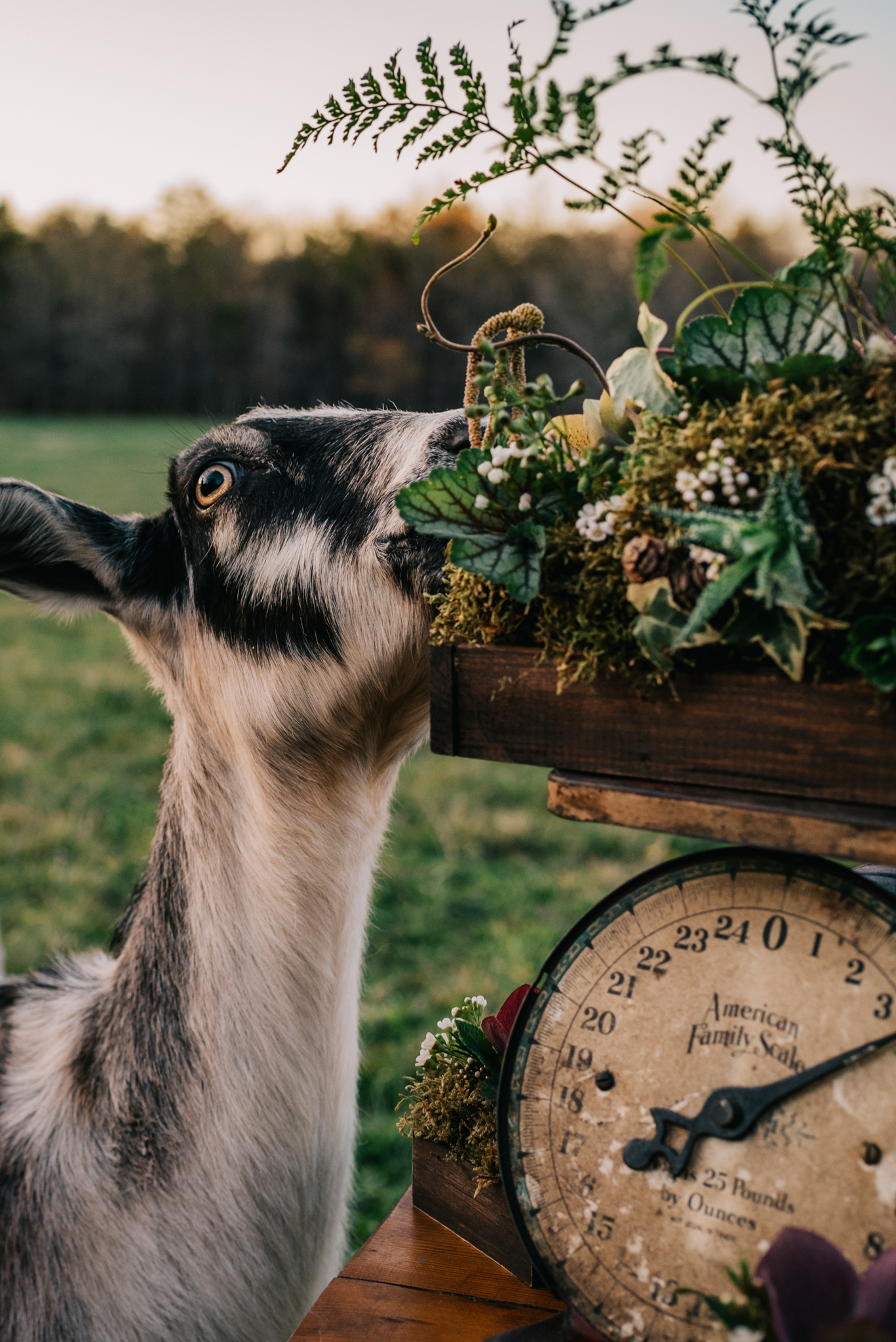 The goat tries to eat the flowers and rustic decor during the farm styled engagement session with Rose Trail Images at Windy Hill Farm near Raleigh, NC.