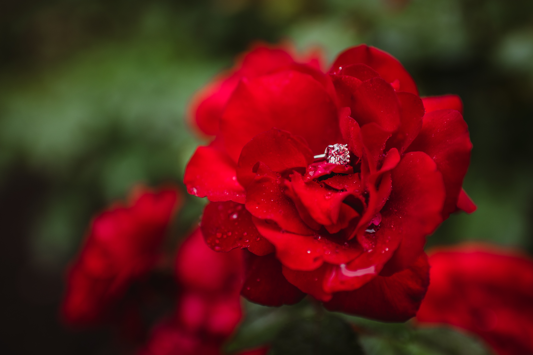 A shot of the engagement ring in the red roses during the rainstorm in Raleigh, during an engagement session with Rose Trail Images.