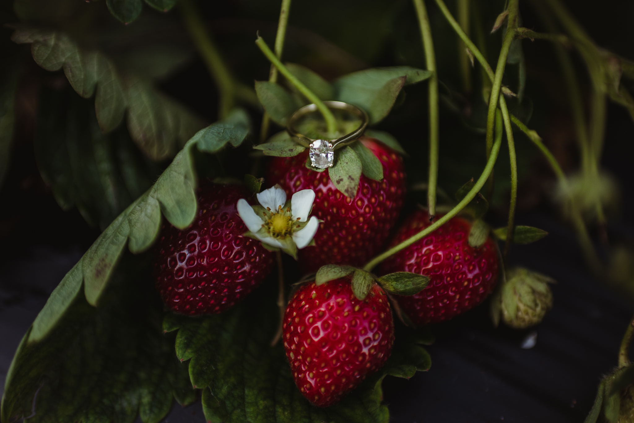 The engagement ring sits in the strawberry patch for their engagement pictures with Rose Trail Images at their family farm in Benson, North Carolina.
