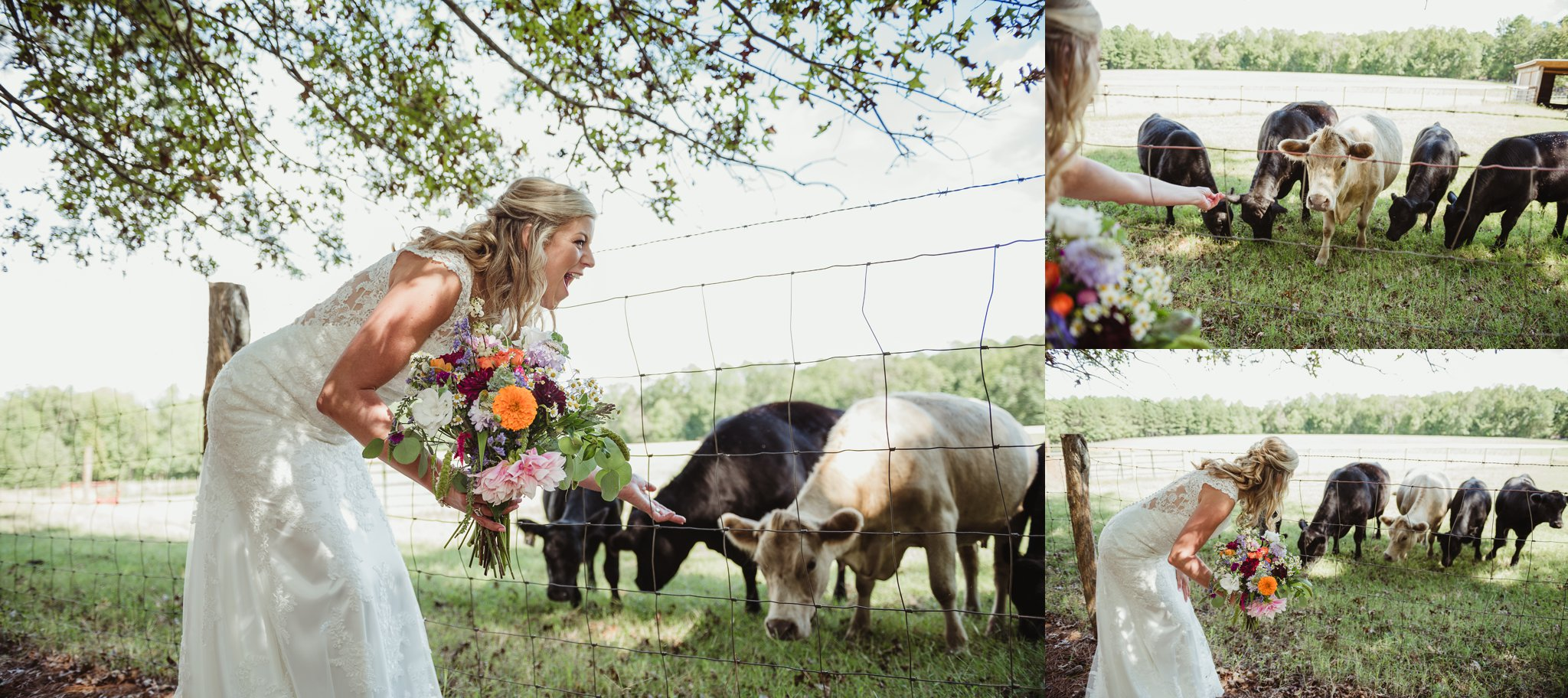The bride and the cows pose for portraits with Rose Trail Images after her wedding ceremony at Cedar Grove Acres near North Carolina.