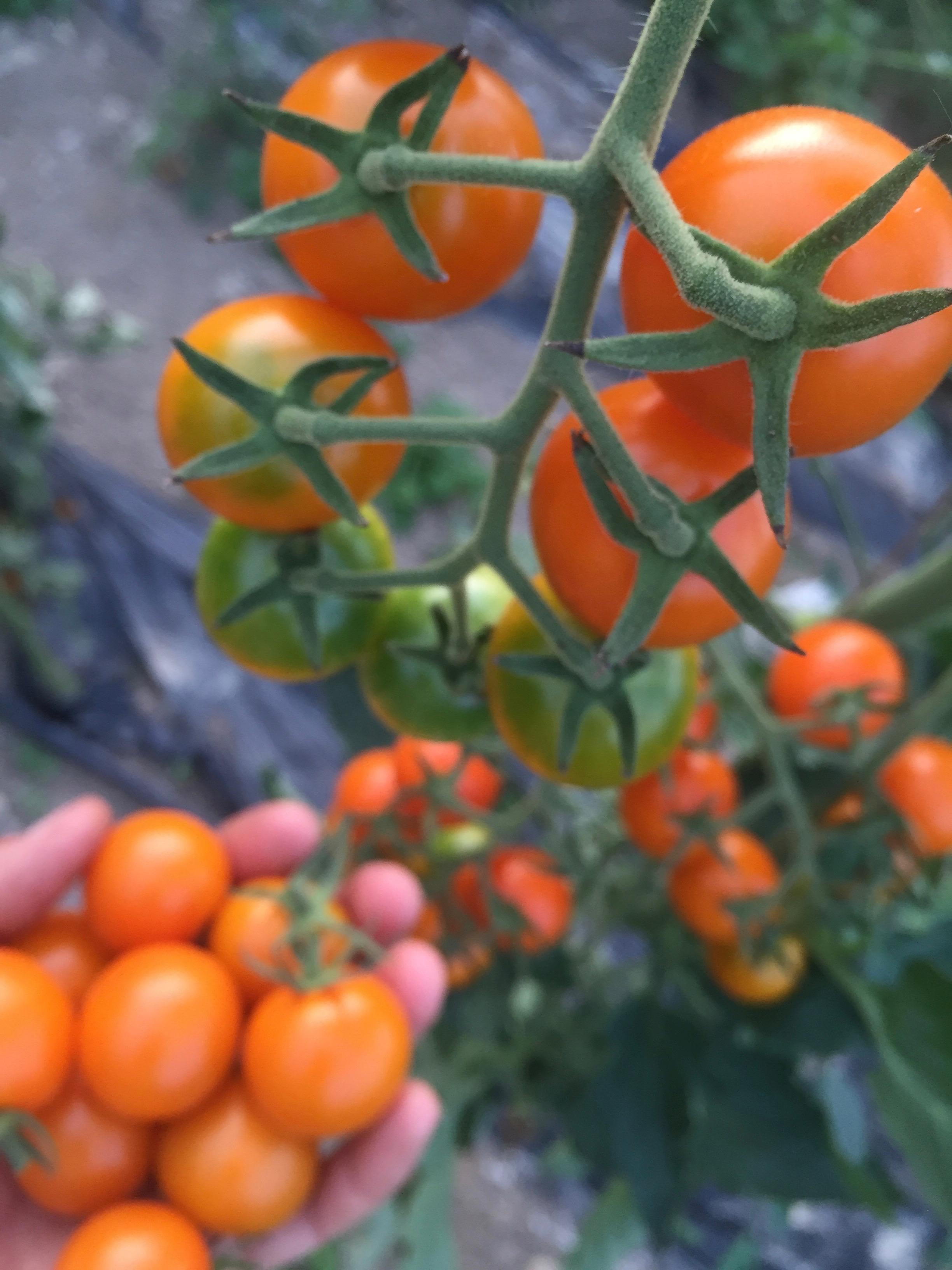 Sungold Cherry Tomato