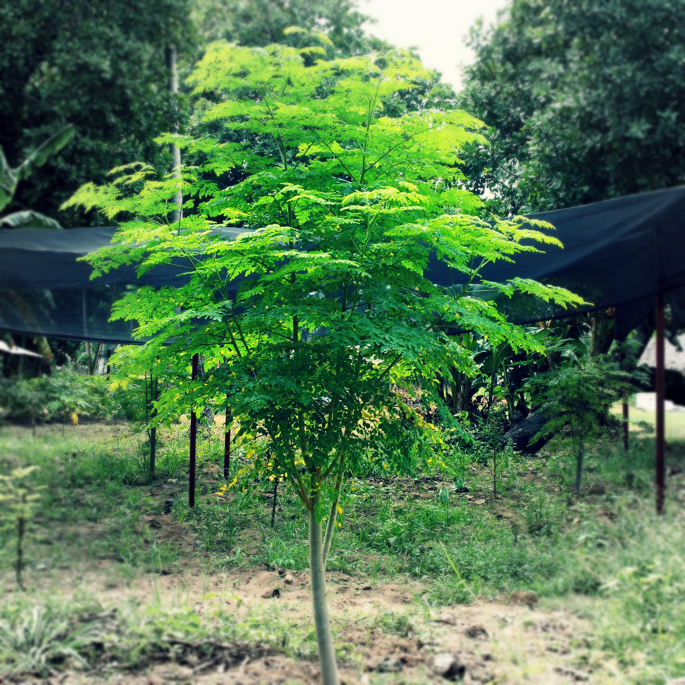 The Moringa Tree or the Drumstick Tree is found in Tropical climates.