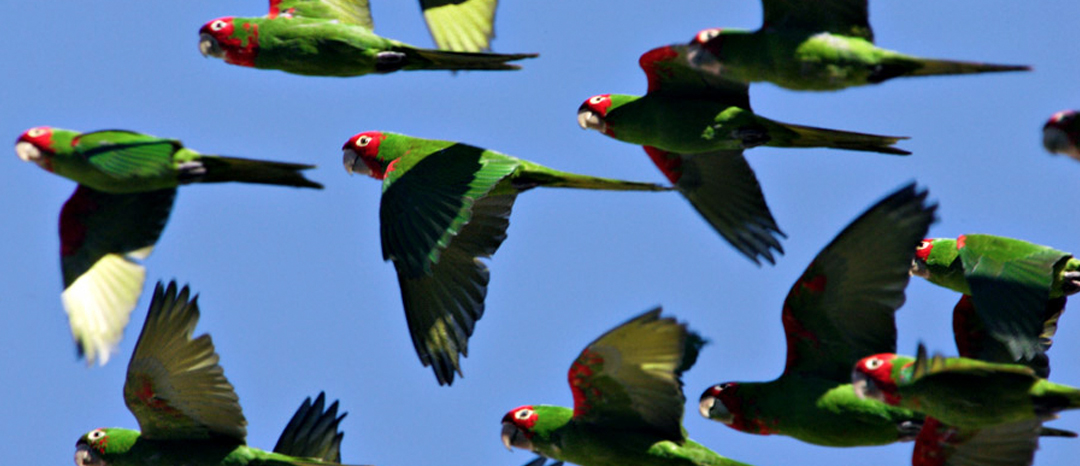 Read about the parrots here.