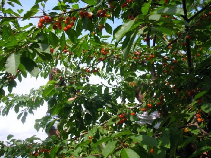 Picking sweet cherries