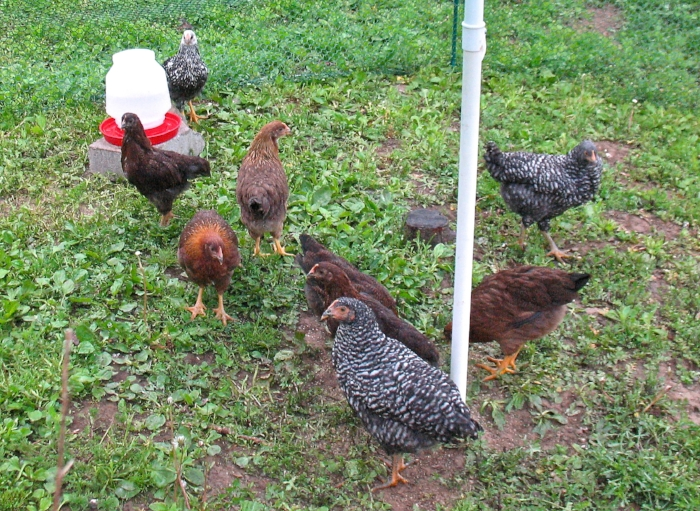 Pullets (young hens) of four different heritage breeds: Barred Rock, Partridge Rock, Welsummer, and Silver Laced Wyandotte
