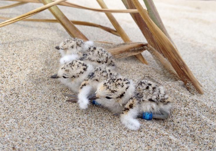 Piping plover chicks.JPG
