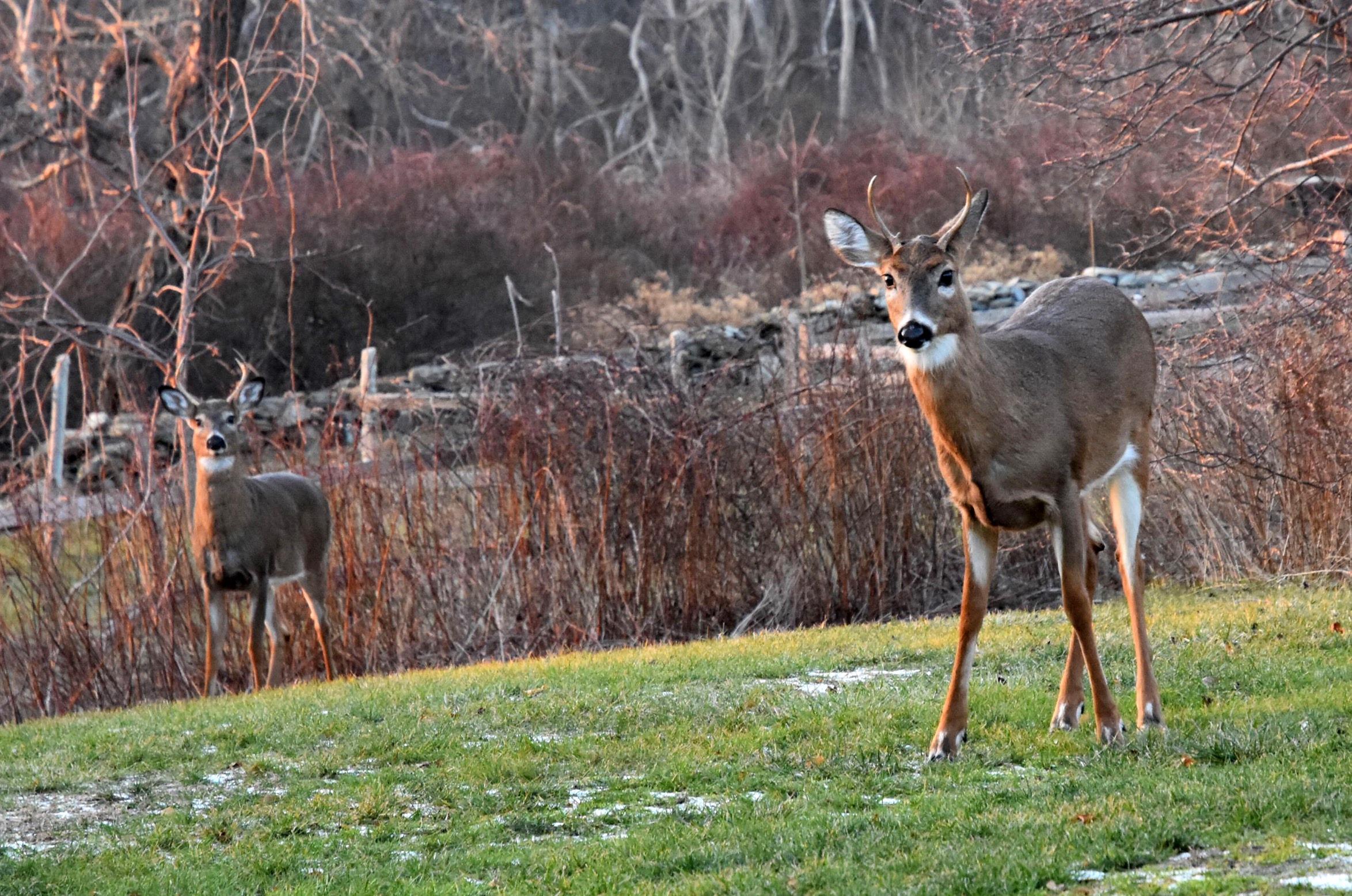 Deer by Welcome Center.jpg