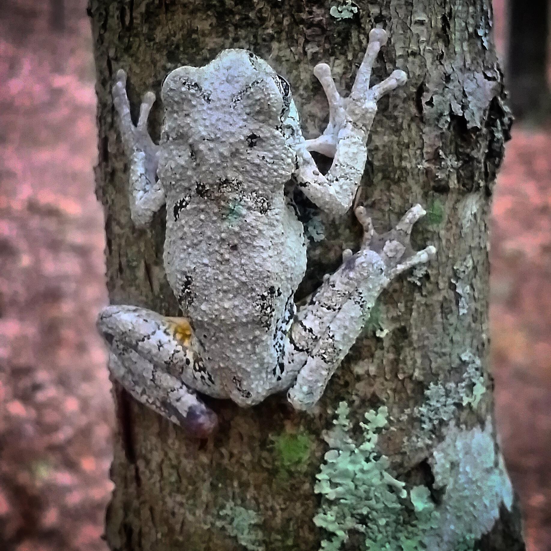 gray tree frog.jpg