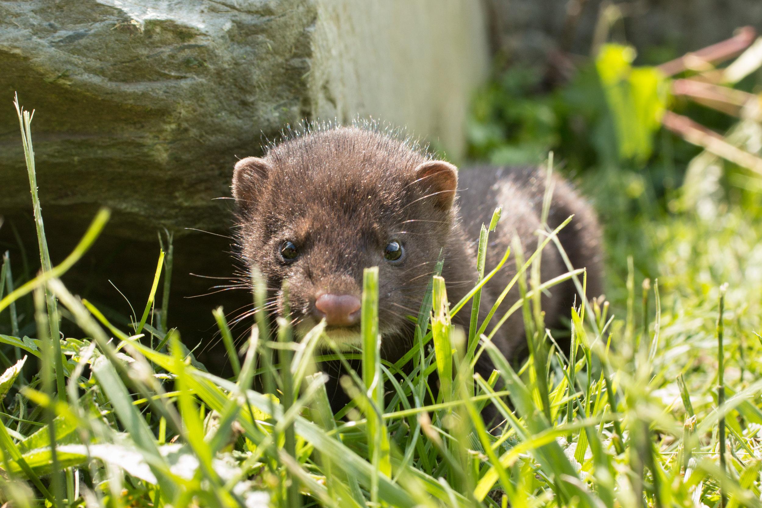 NBS Baby Mink Native Wildlife_Photo.jpg