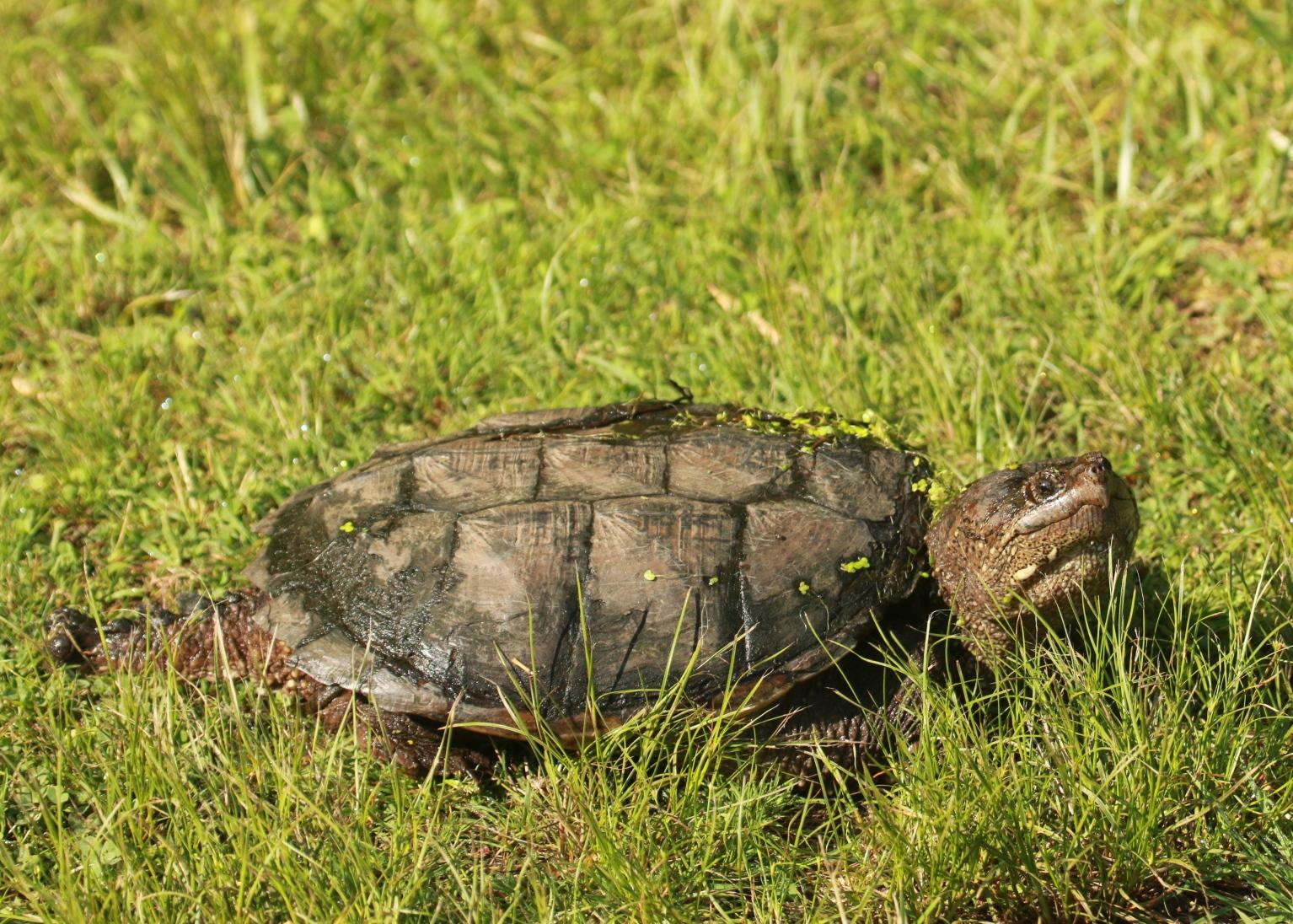 Snapping Turtle Mark Pagliarini.jpg