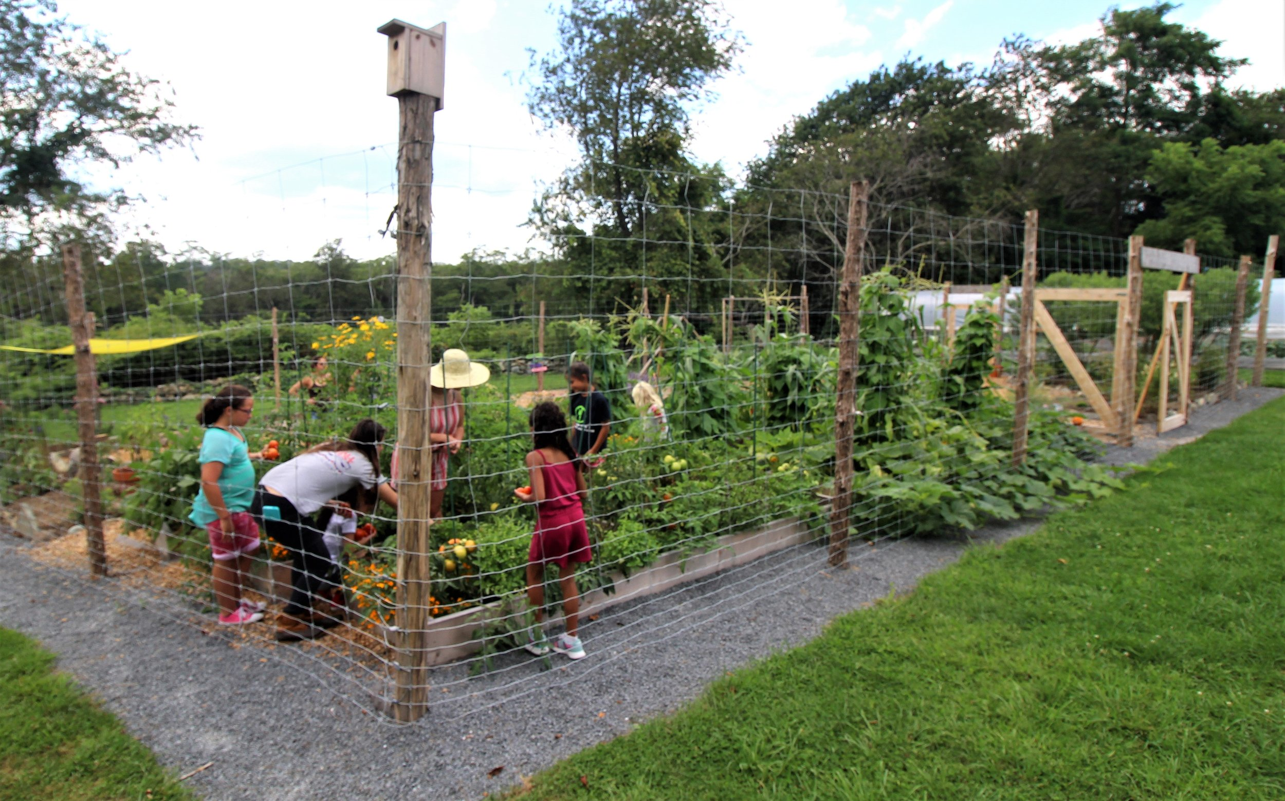 Dr. martin luther king Jr. Community center students picking tomatoes