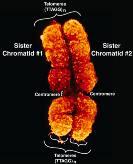 A rare photo of telomeres caught in action! Isn't biology incredible?  Source: Harper's Illustrated Biochemistry