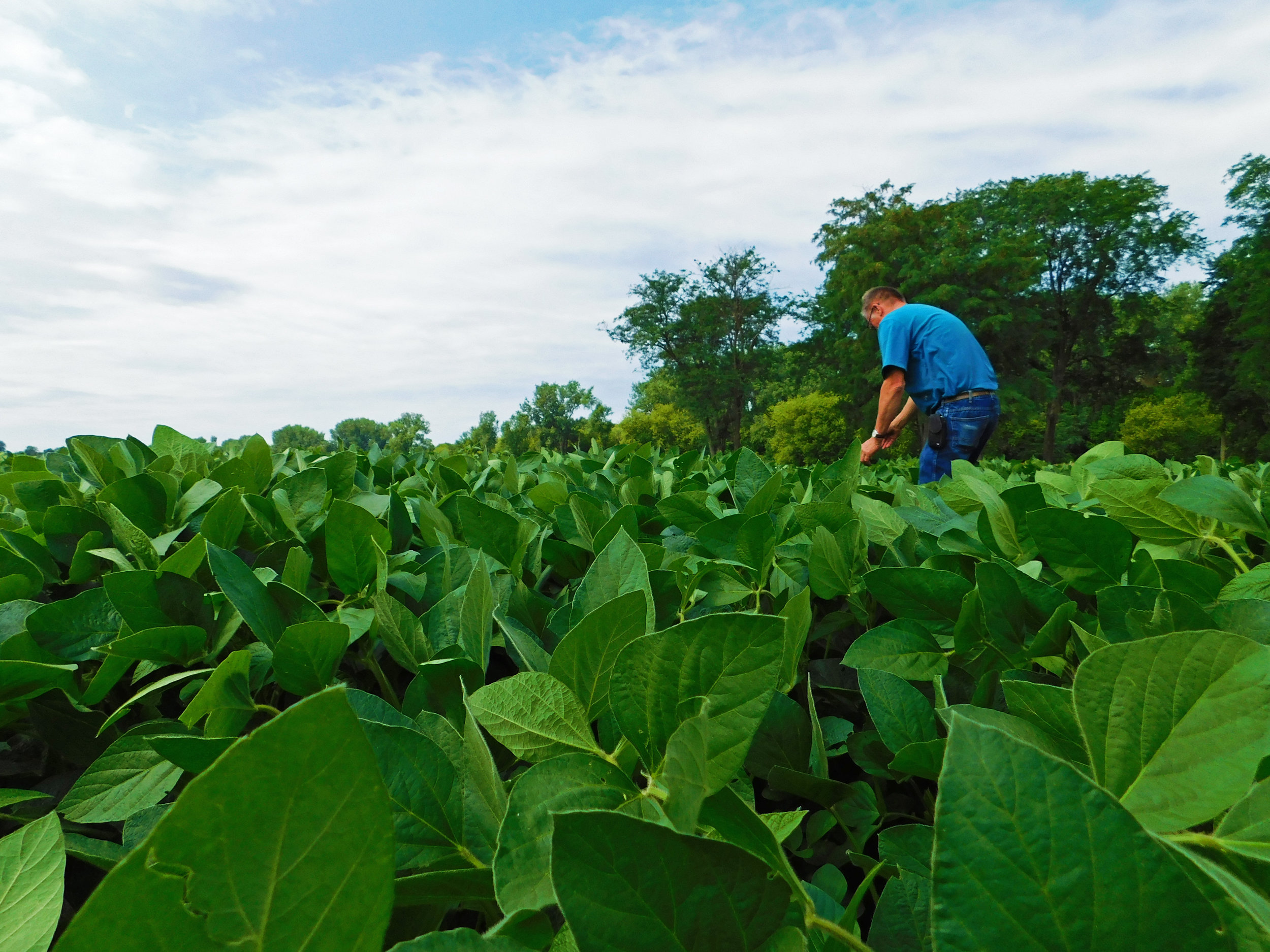 Youngblut pulls a weed from his soybean field.