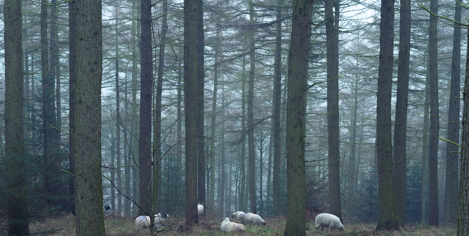 peak-district-sheep-forest.jpg
